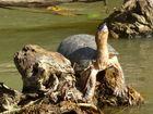 Schildkröte auf dem Rio San Carlos