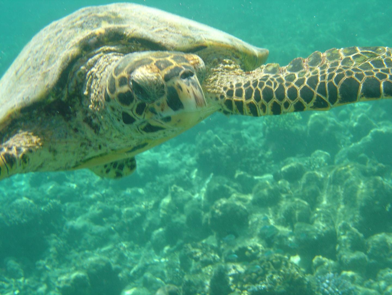 Schildkröte auf den Malediven
