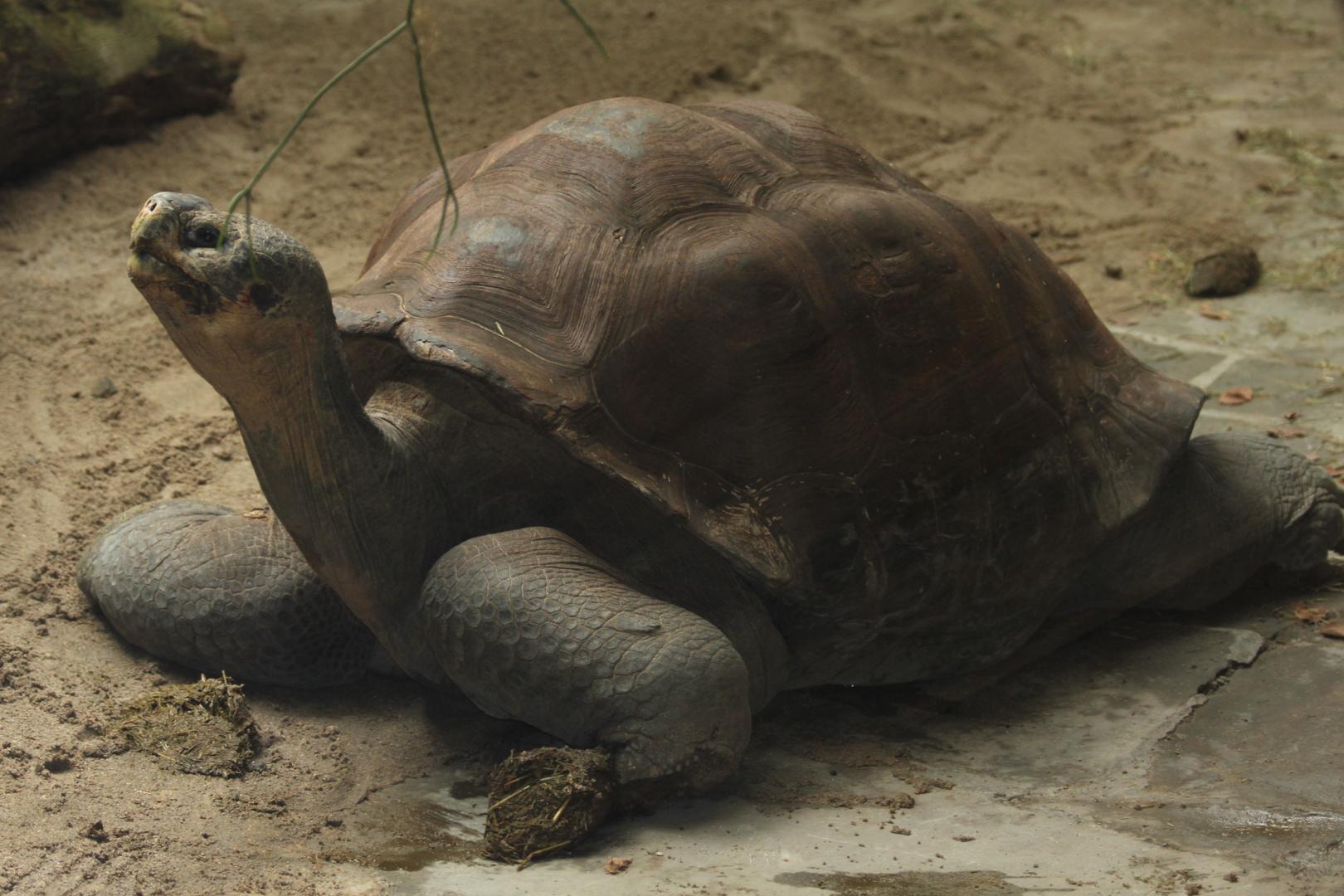 Schildkröte auf der Lauer