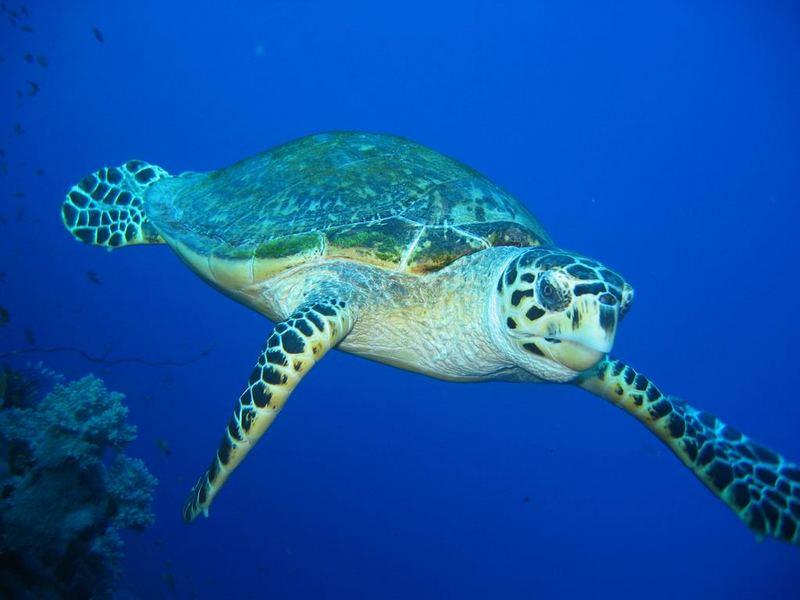 Schildkröte auf Kollissionskurs
