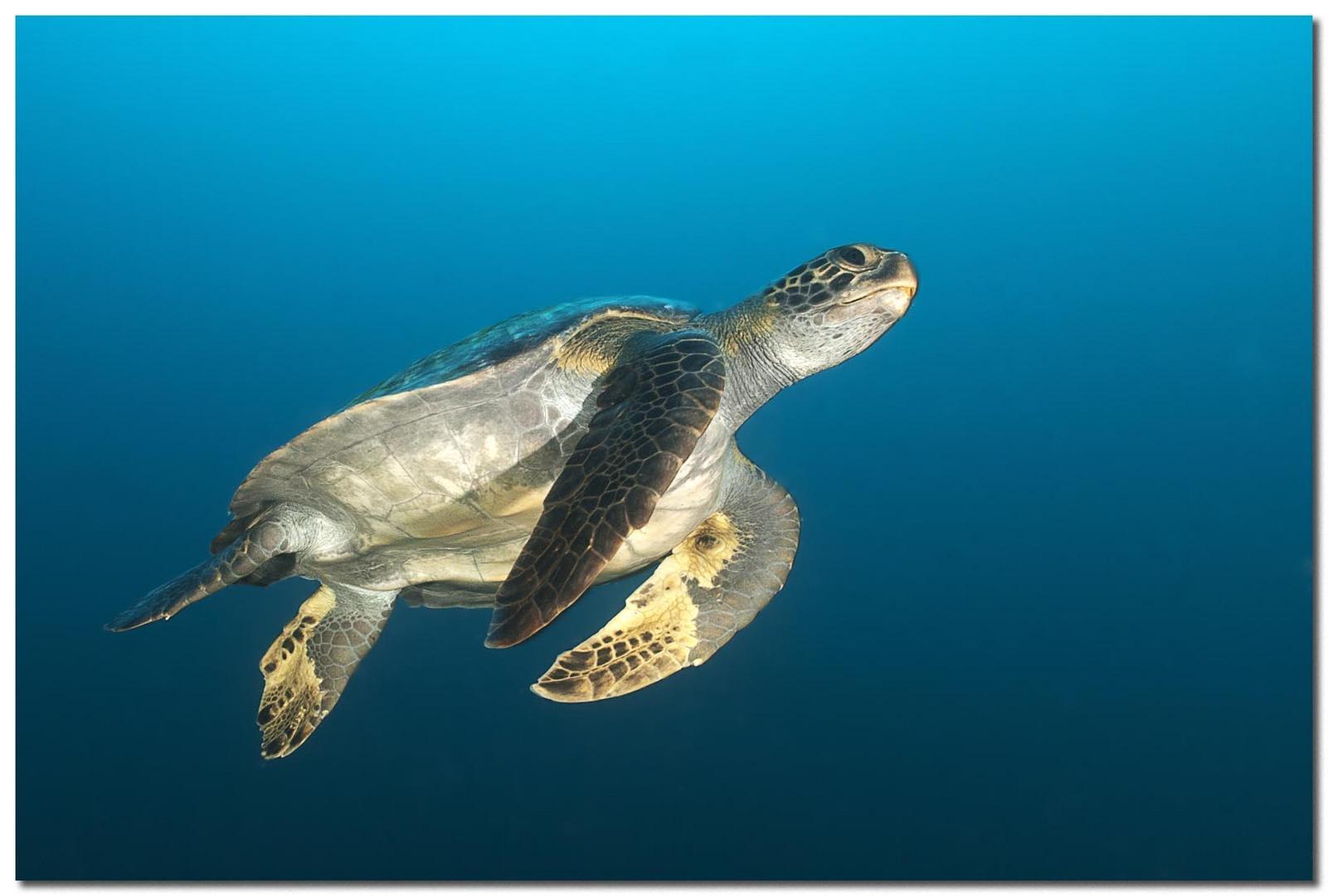Schildkröte beim Auftauchen...