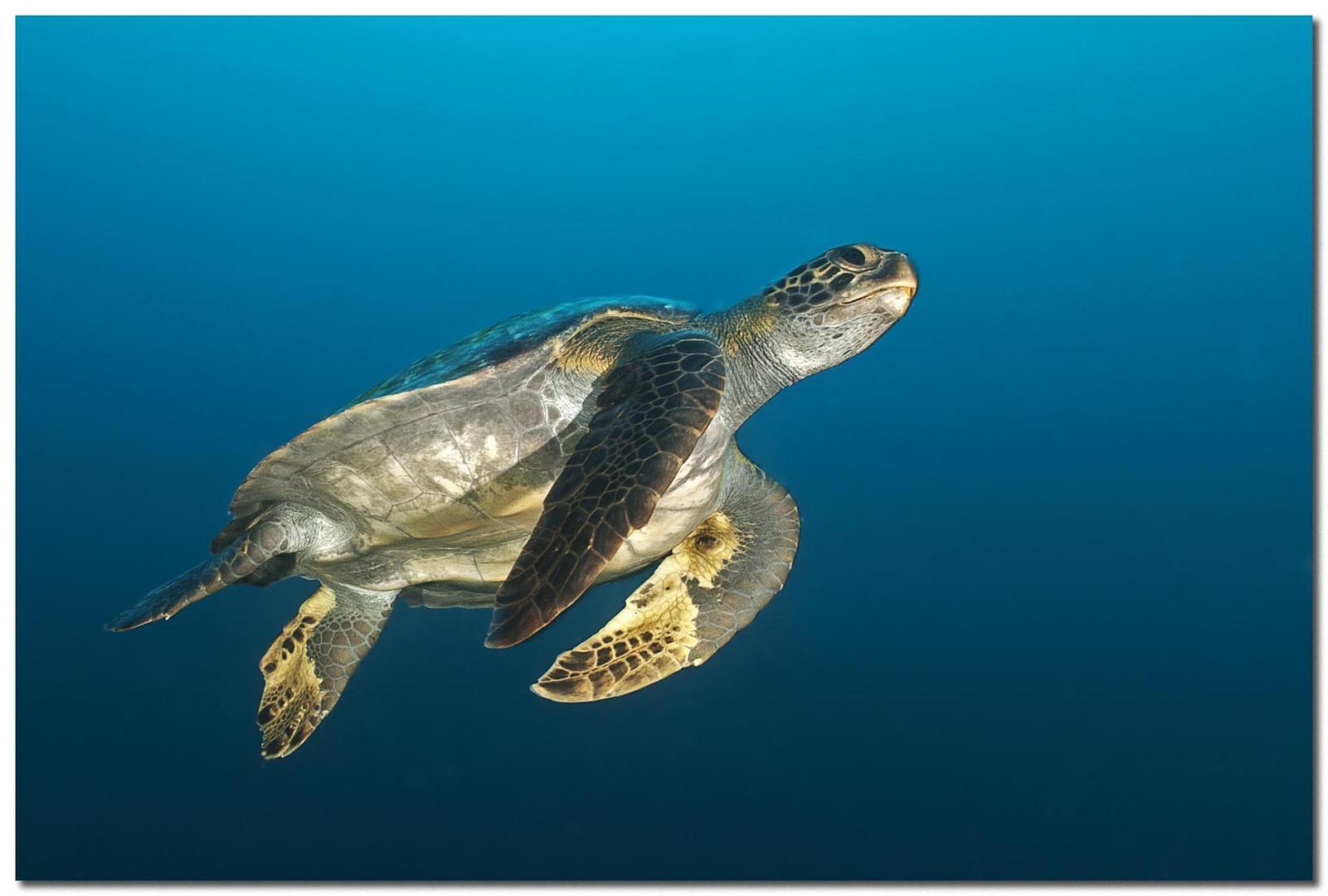Schildkröte beim Auftauchen (Reload)
