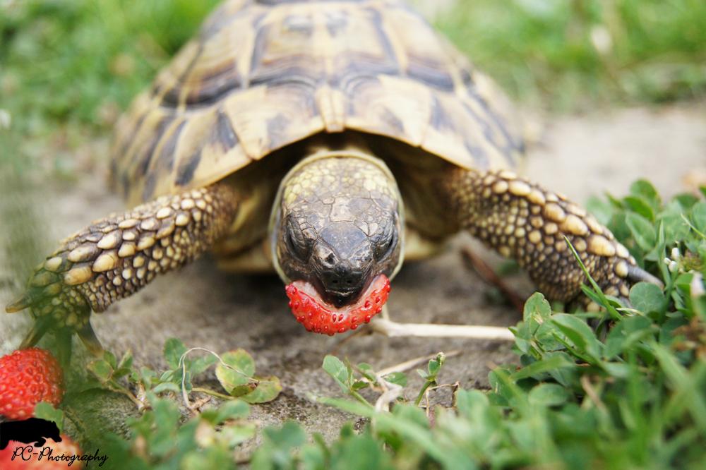 Schildkröte beim Fressen