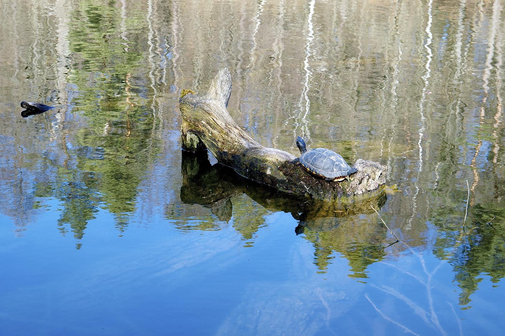 Schildkröte im Bärensee