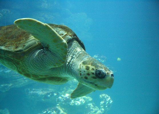 Schildkröte im Stralsunder Meereskundemuseum
