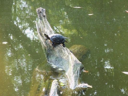 Schildkröte in den Wallanlagen, Planten un Blomen.