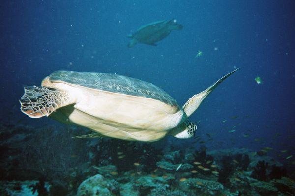 Schildkröte Malediven 2004