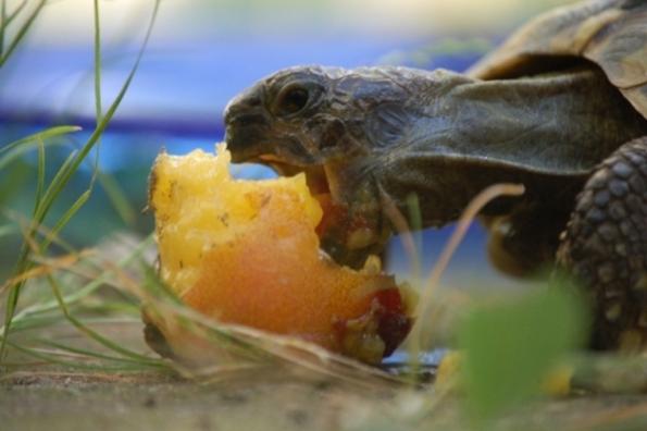 Schildkröte mit Pfirsich 1