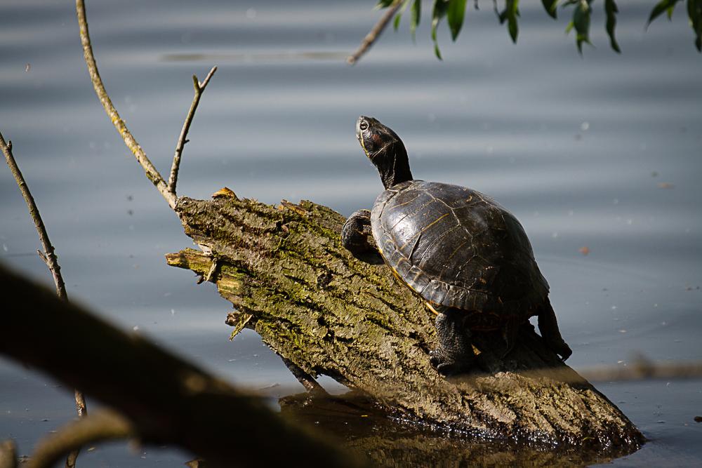 Schildkröte sonnt sich am Reinheimer Teich