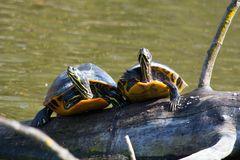 Schildkröten am Bruchsee bei Heppenheim (I)