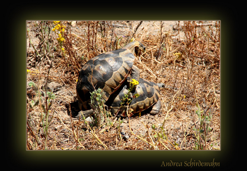 Schildkröten-Sex
