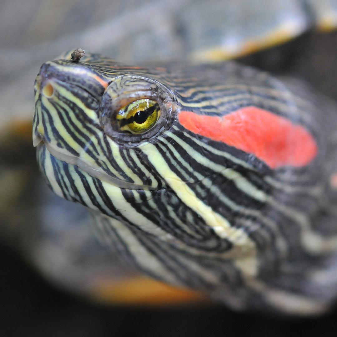Schildkrötenaugenkontakt