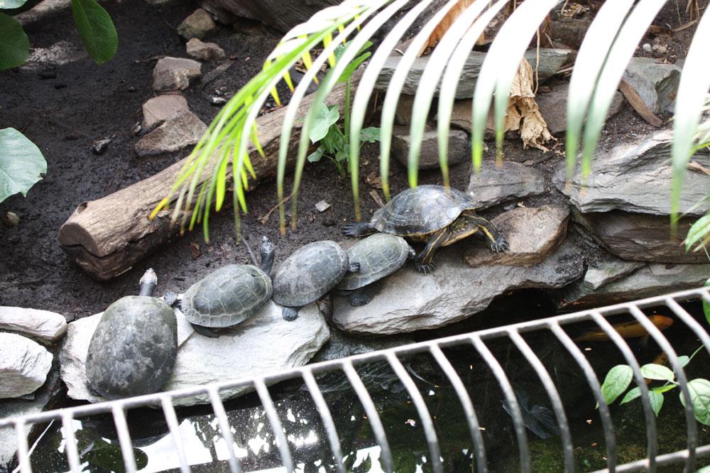 Schildkrötendomino