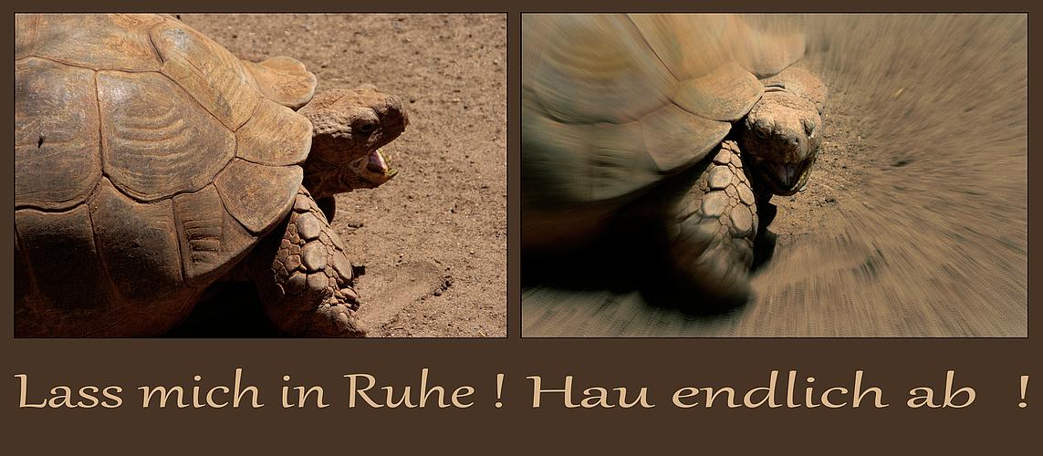 Schildkrötengemeckere