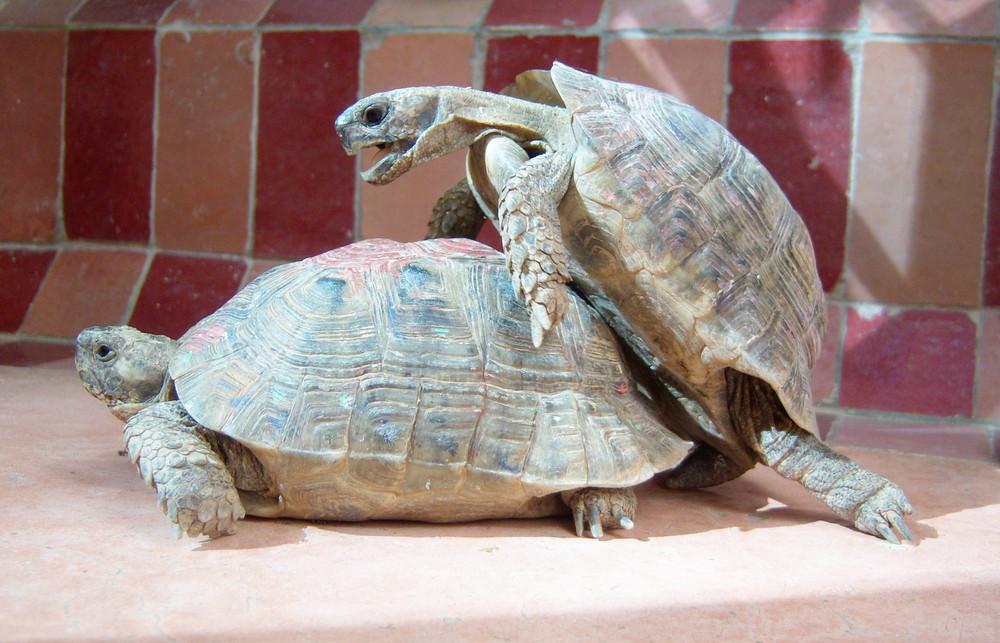 Schildkrötenpaarung