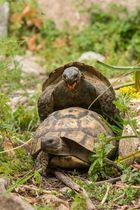 ~ Schildkrötenpaarung ~