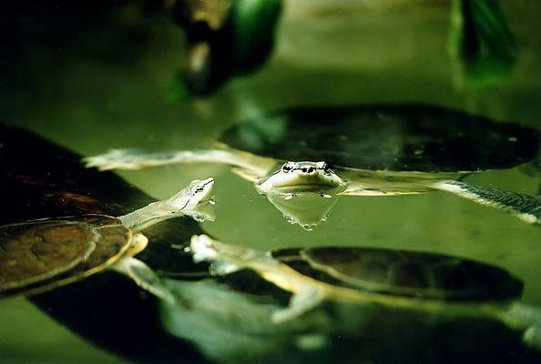 Schildkröter