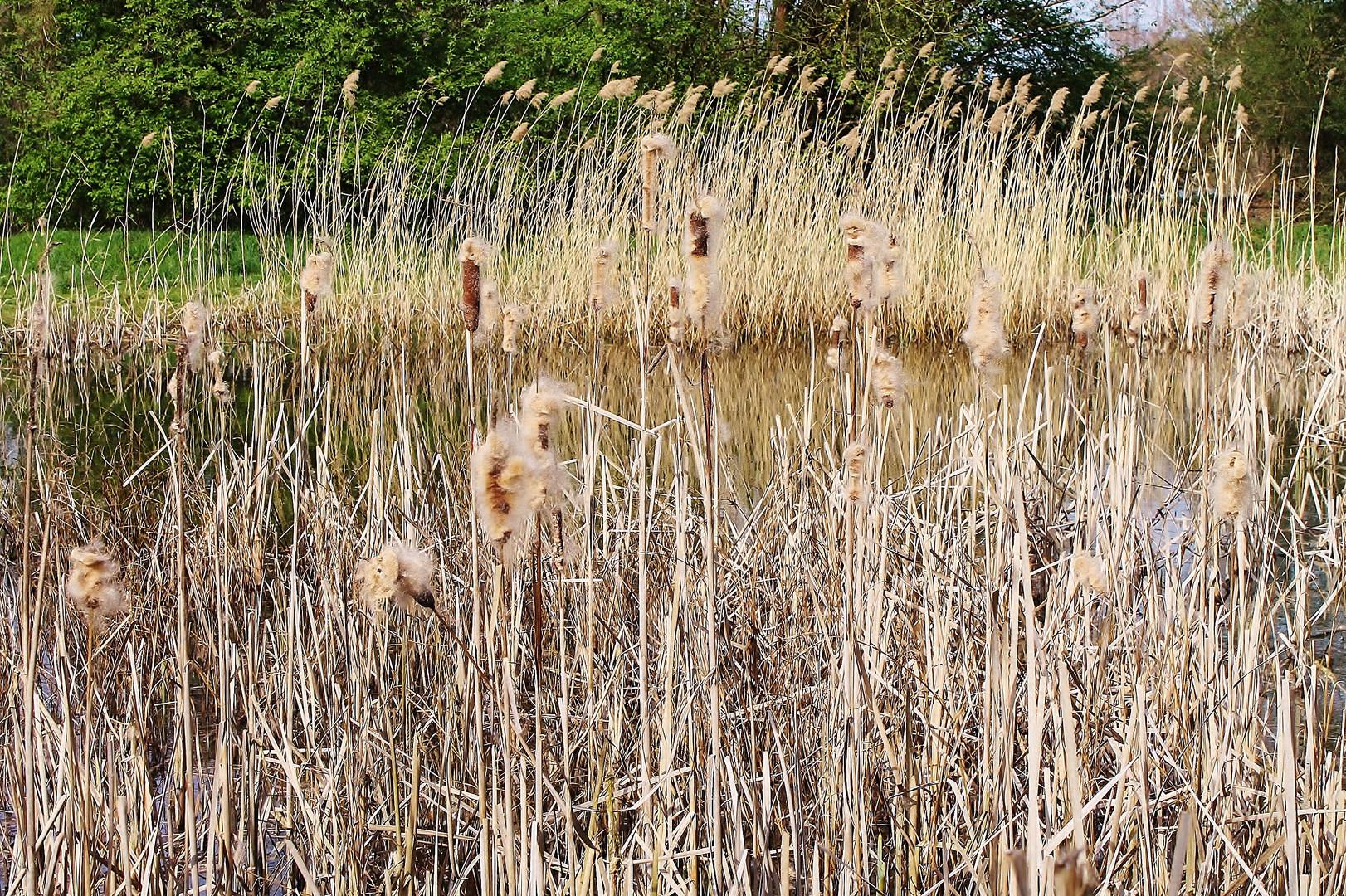 Schilf-(Frosch)-Teich