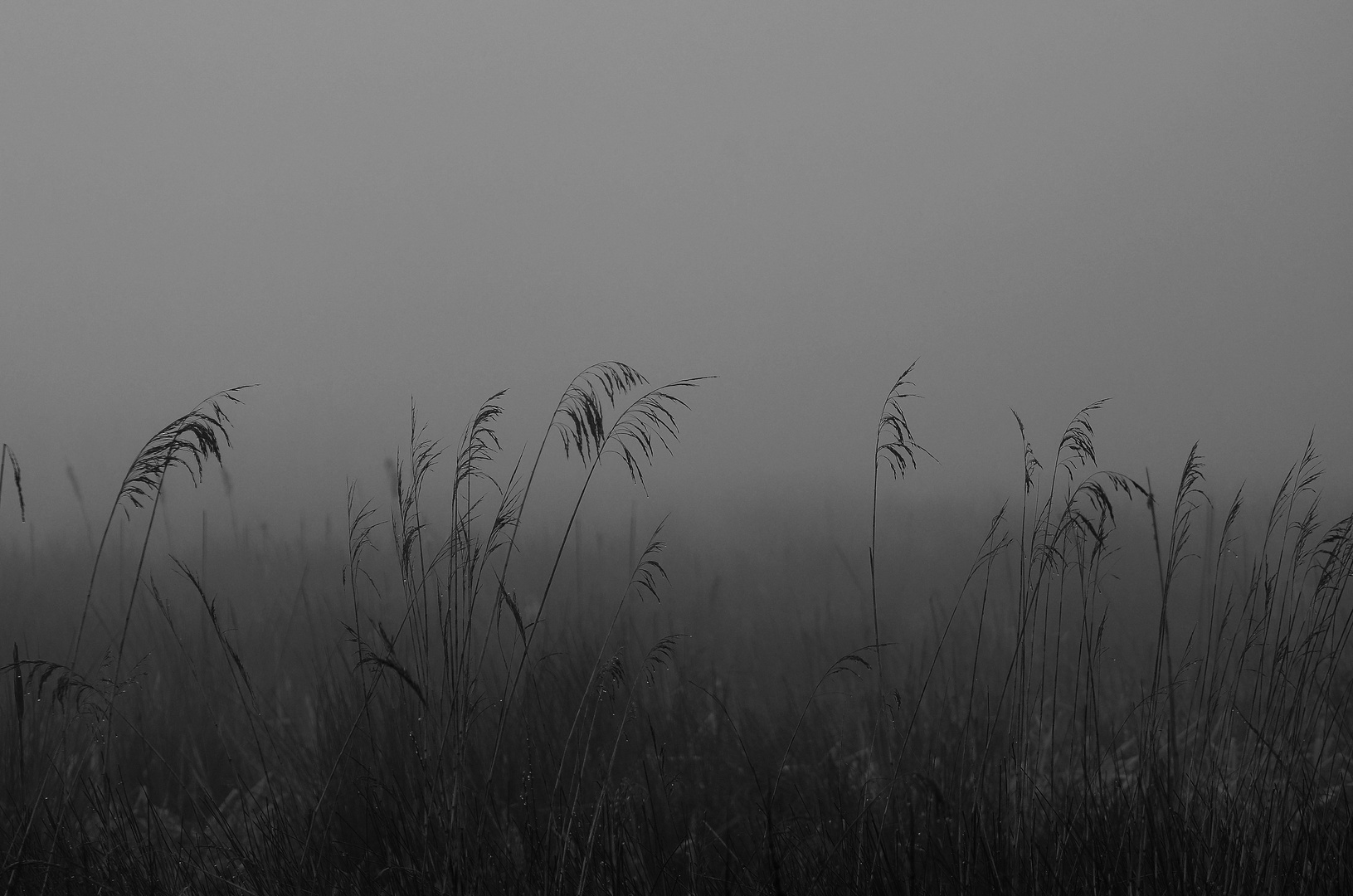 Schilf im Nebelgrauen