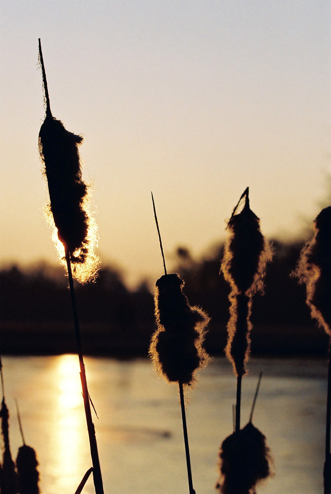 Schilf im Sonnenaufgang