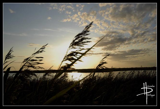 Schilf im Sonnenuntergang