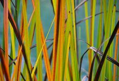 Schilfgras in Herbstfarben