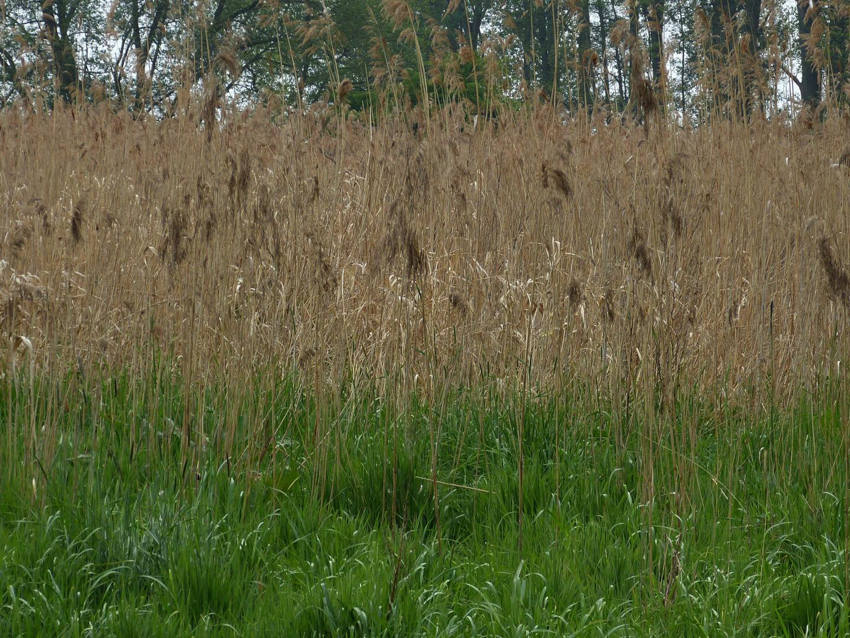 Schilfröhricht im Feuchtgebiet Blutwiese Ostscheid