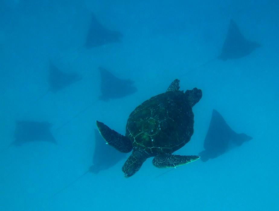 Schilkröte mit Adlerrochen (Galapagos)