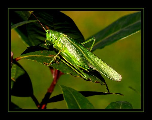 Schillernd grün
