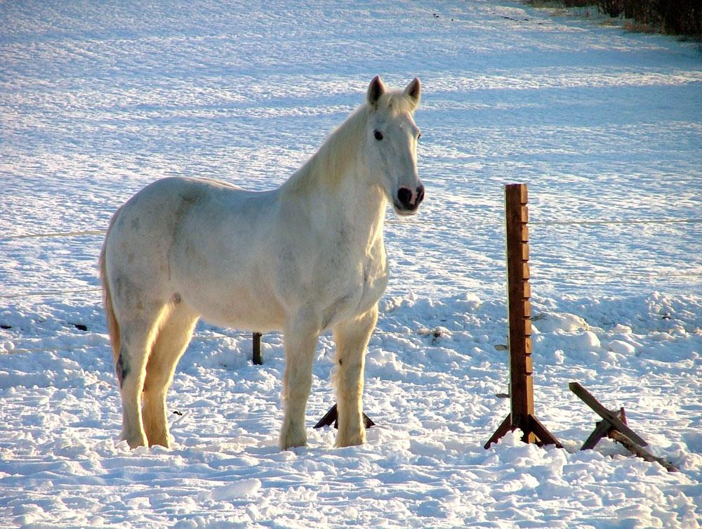 schimmel im schnee foto bild tiere haustiere pferde esel maultiere bilder auf fotocommunity. Black Bedroom Furniture Sets. Home Design Ideas