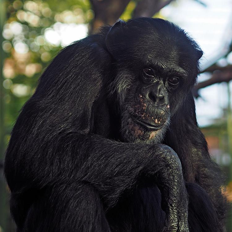 Schimpanse...
