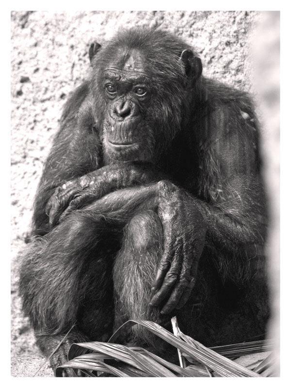 """Schimpanse - """"allein"""""""