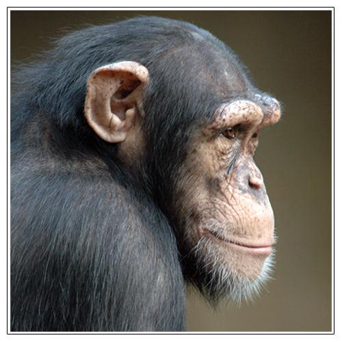 Schimpanse auf Beobachtungsposten