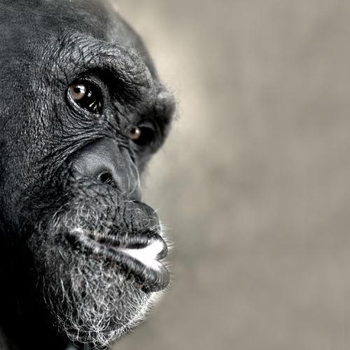 schimpanse aus las vegas