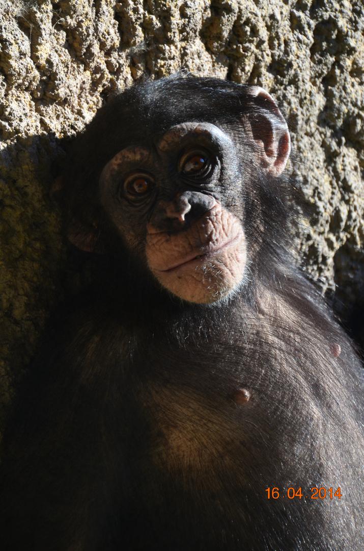 Schimpanse beim Fotoshooting ;-)
