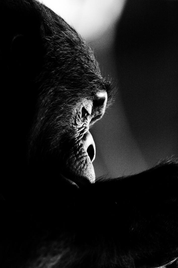 Schimpanse I