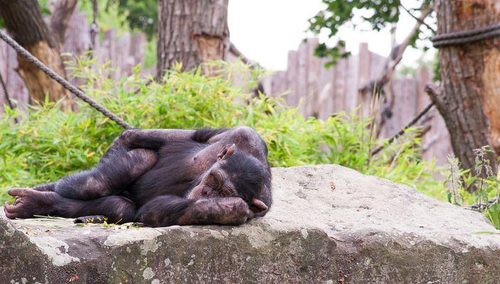 Schimpanse im Allwetterzoo Münster