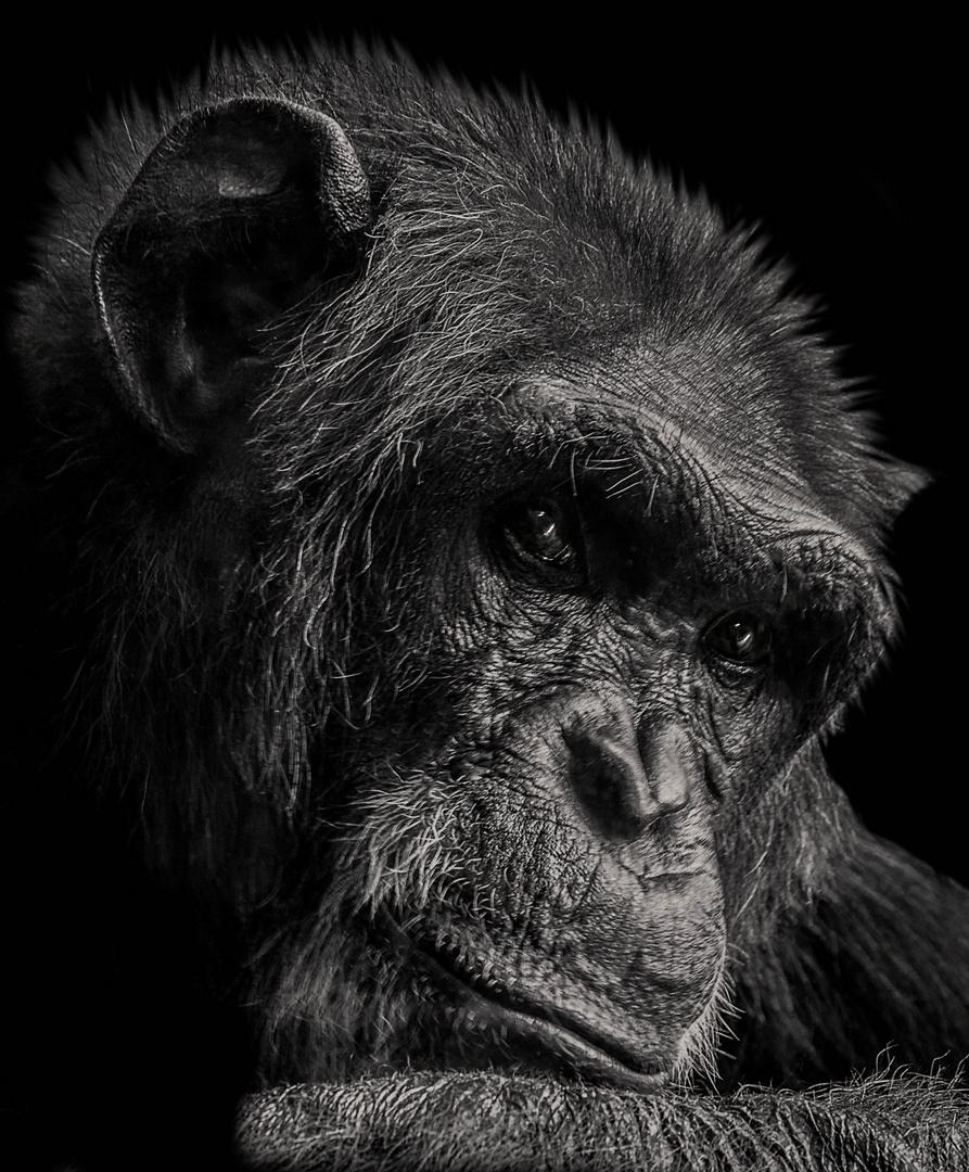 Schimpanse im Heidelberger Zoo