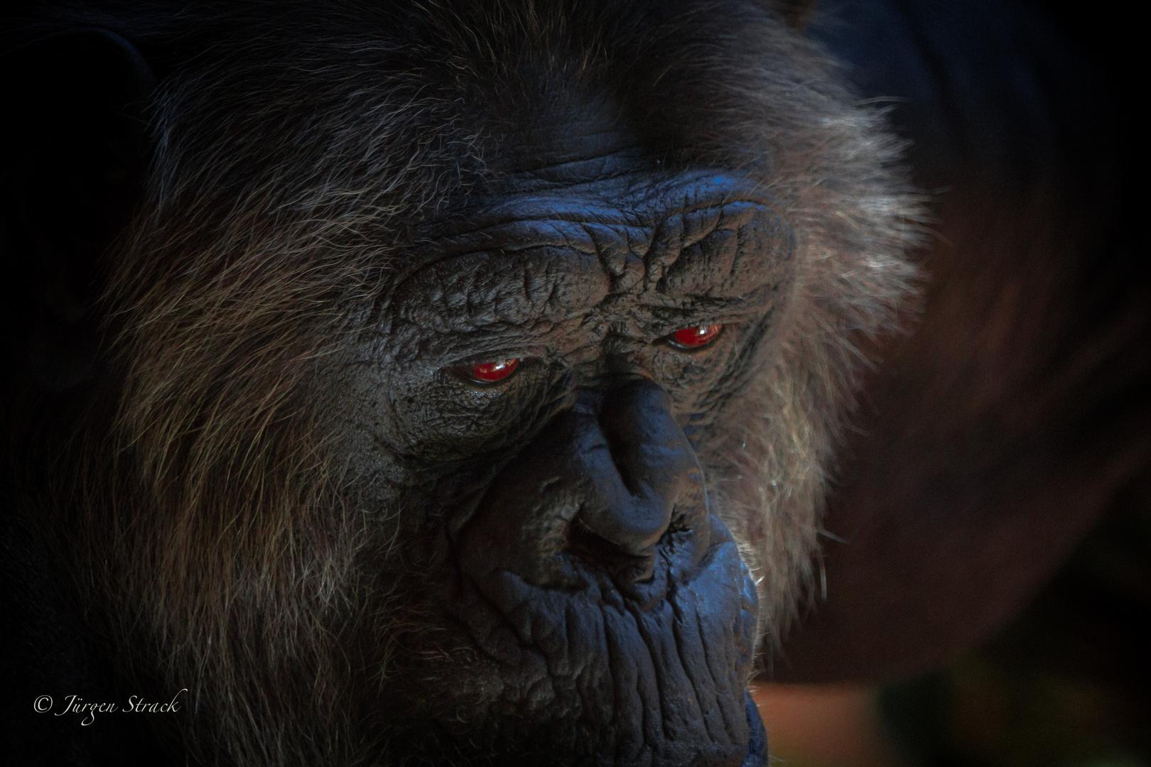 Schimpanse im Loro Parque