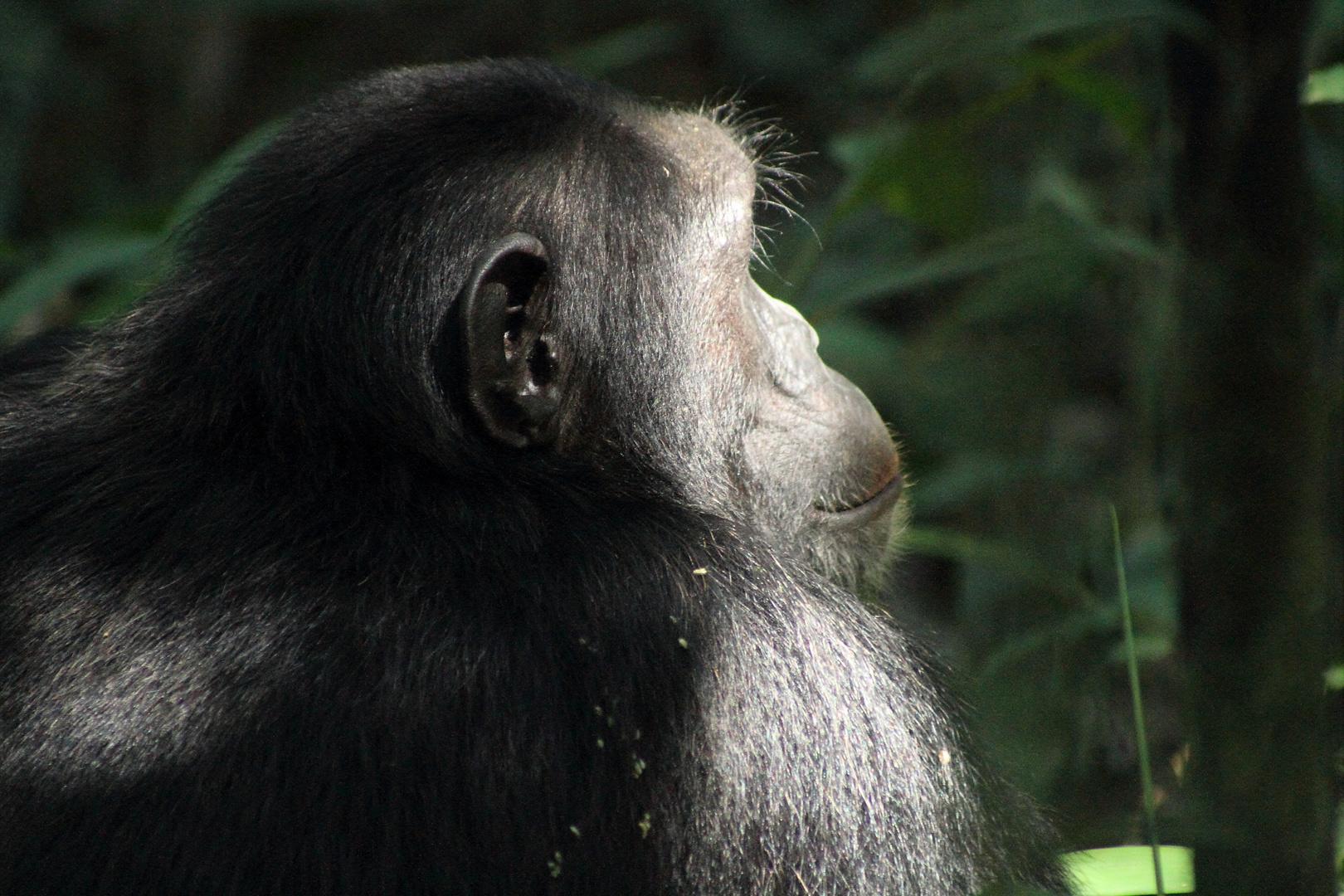 Schimpanse im Morgenlicht
