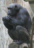 Schimpanse im Zoo Hannover