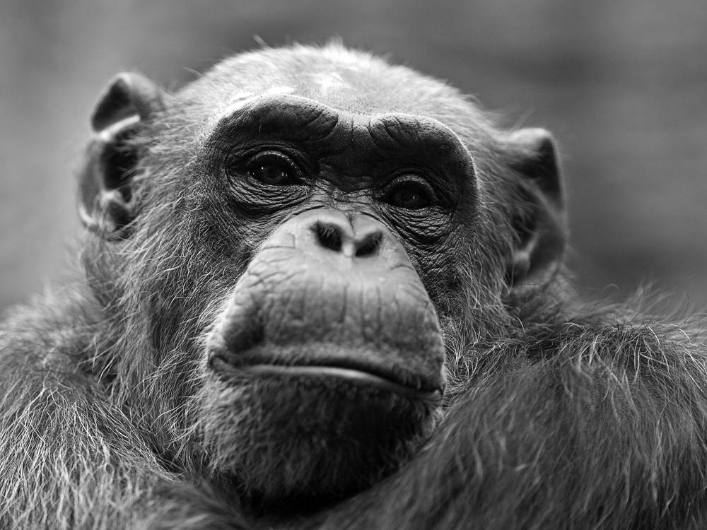 Schimpanse im Zoo Odense