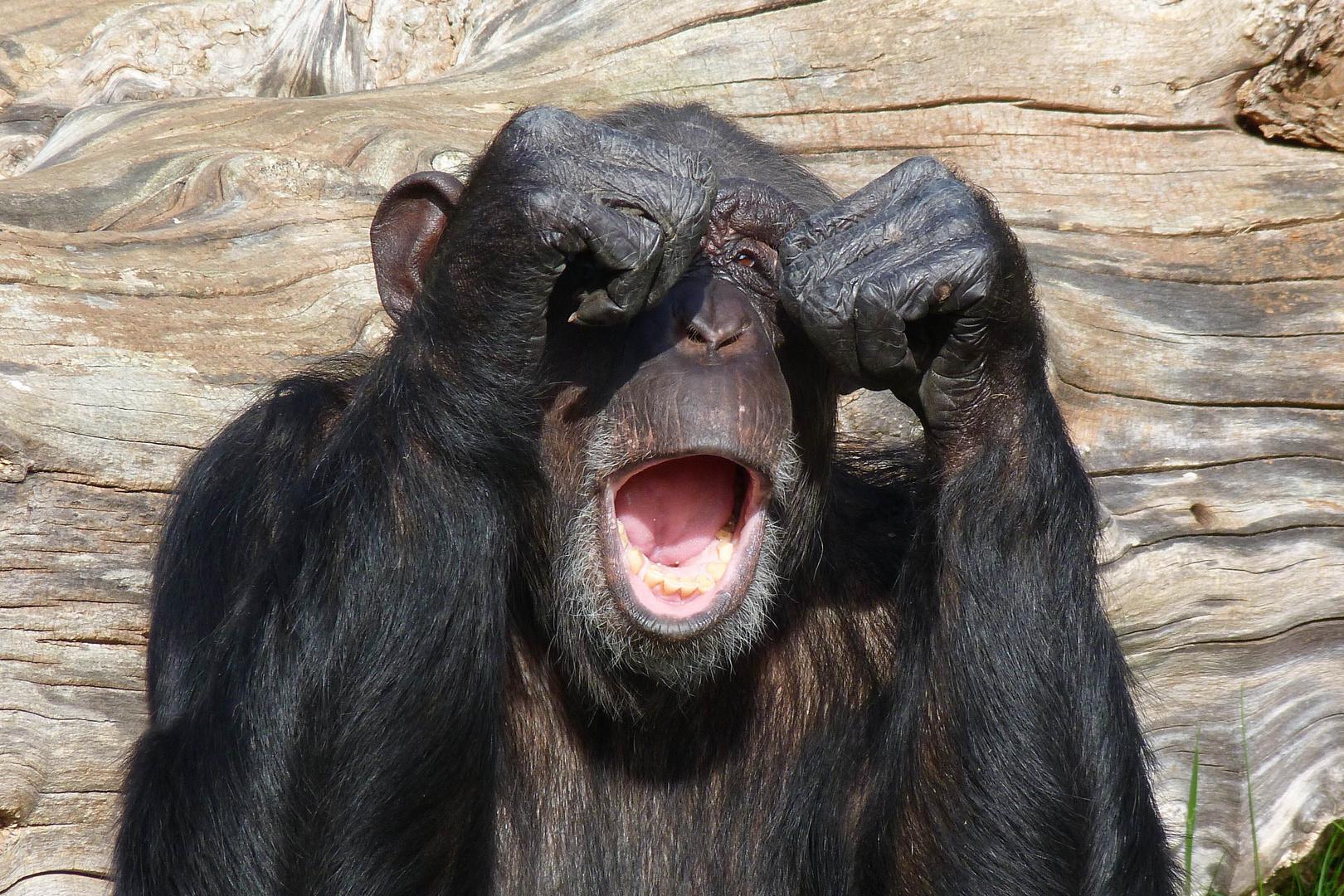 Schimpanse (Müdigkeit übermannt ihn)