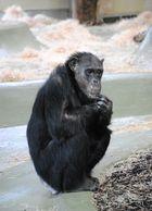 Schimpanse (Pan troglodytes)