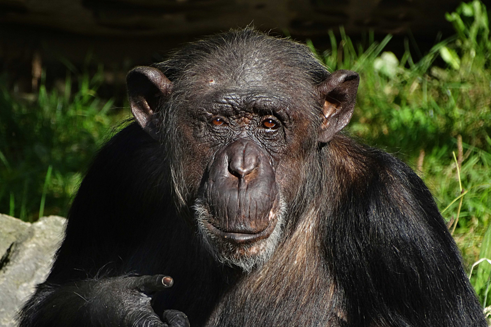 Schimpanse (Zoo Neuwied)