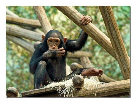 Schimpansen-Kind
