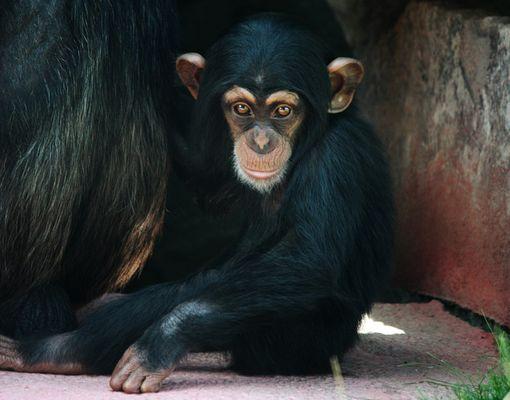 Schimpansen - Kind