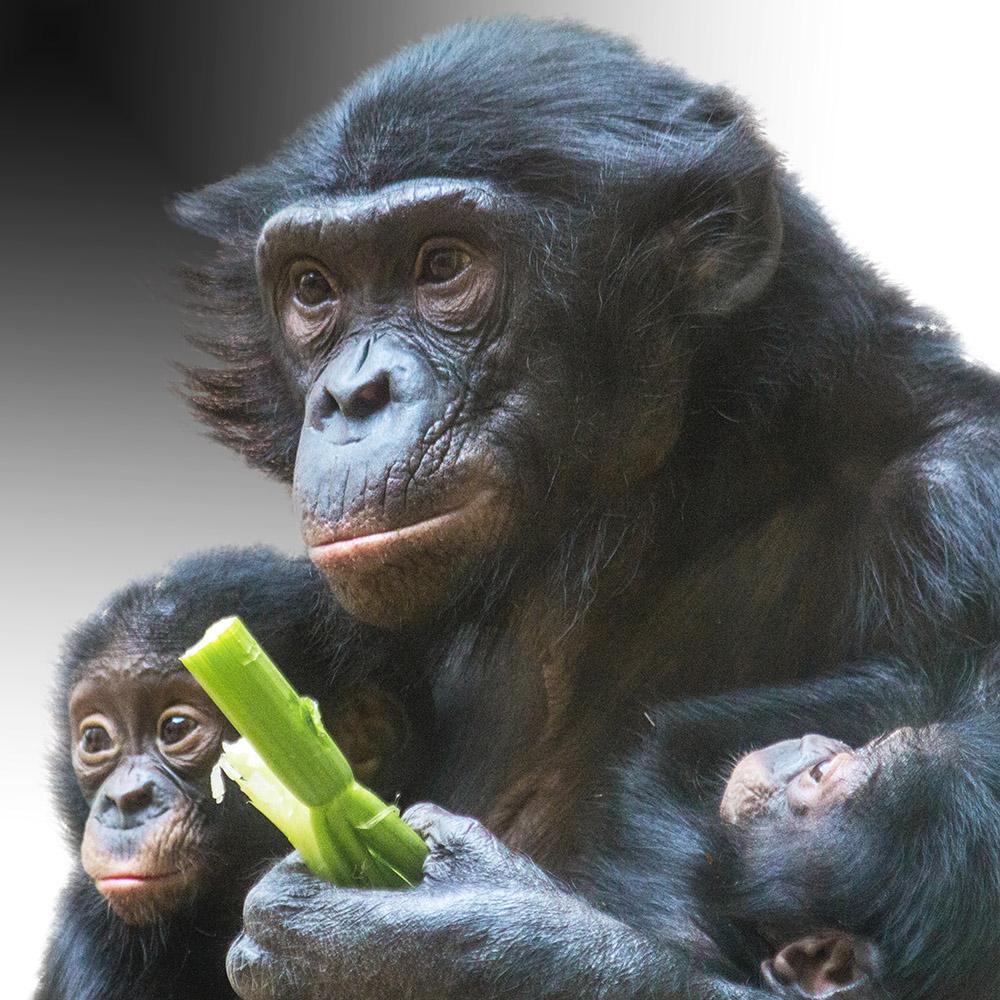 Schimpansen l