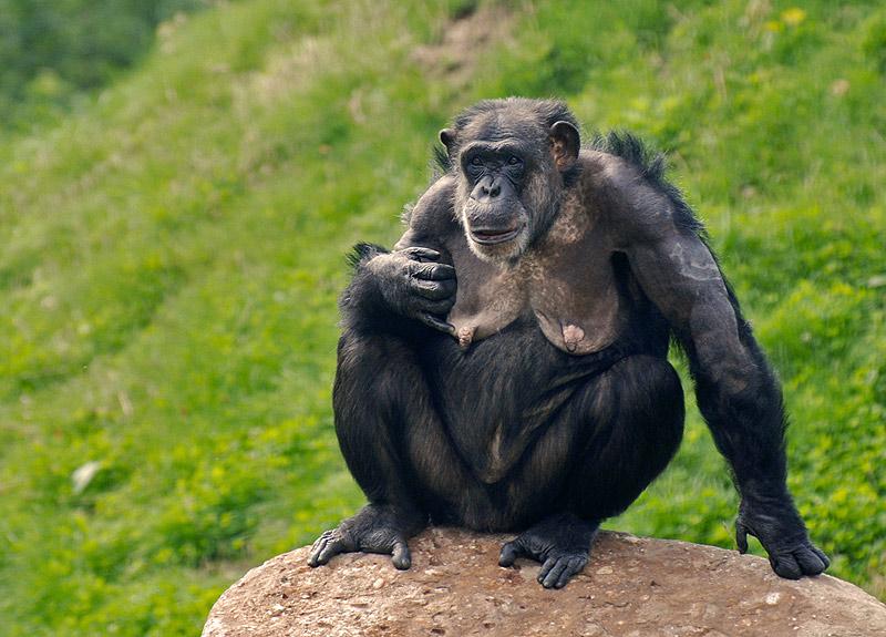 Schimpansen Mama