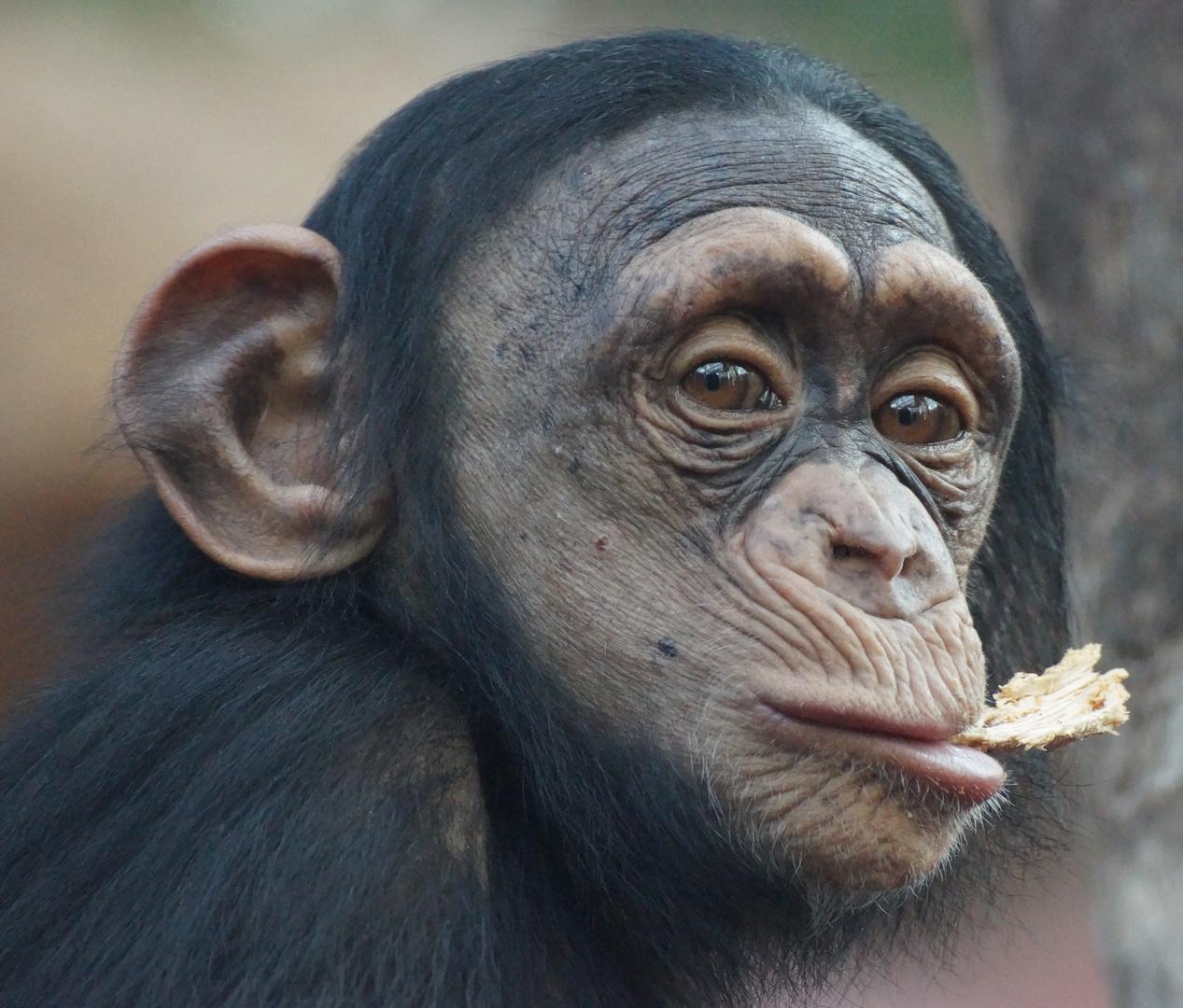 Schimpansenmädchen Yumma in der Zoom Erlebniswelt